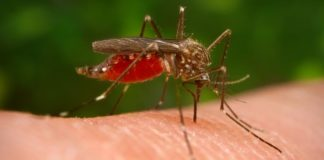 Home remedy for chikungunya Gharelu Nuskhe